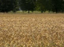 урожай ячменя Стоковые Фотографии RF