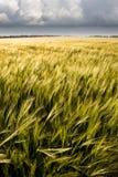 урожай ячменя Стоковые Изображения RF