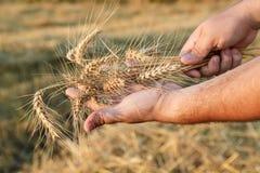Урожай ячменя стоковая фотография