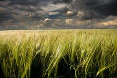 урожай ячменя Стоковое фото RF