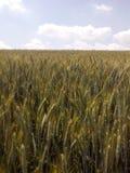 урожай Стоковая Фотография RF