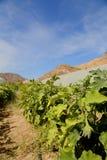 Урожай Aubergine Стоковые Изображения