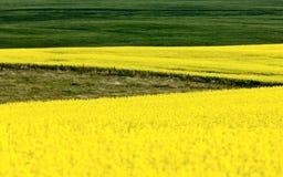 Урожай Canola Стоковое Изображение RF