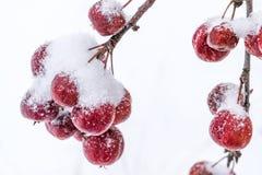 Урожай Unharvested много маленьких яблок на ветвях дерева покрытого с снегом Стоковое фото RF