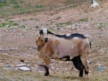 Уроженец козы Majorera к Фуэртевентуре в Испании Стоковое Изображение