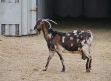 Уроженец козы Majorero к Фуэртевентуре в Испании Стоковое Фото