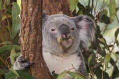 Уроженец медведя Koalo к Австралии Стоковая Фотография
