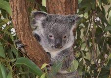 Уроженец медведя Koalo к Австралии Стоковое Изображение