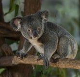 Уроженец медведя Koalo к Австралии Стоковые Изображения