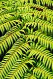 уроженец папоротника зеленый Стоковое Изображение