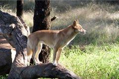 уроженец собаки dingo aust Стоковые Фотографии RF