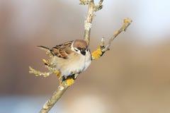 усаживание воробья птицы hunched на ветвях весной Стоковые Фото
