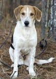 Усаживание гончей собаки породы бигля смешанное харриером Стоковая Фотография RF