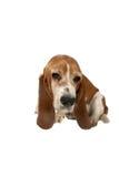 усаживание гончей собаки basset Стоковые Фото