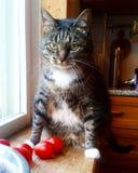 Усаживание домашней кошки старшее около окна Стоковые Изображения RF
