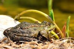 Усаживание жабы Стоковые Фотографии RF