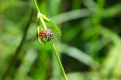 Усаживание жука зеленоголубое на цветке в траве Стоковое Изображение RF
