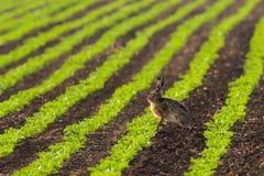 усаживание зайцев поля стоковые изображения