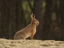 усаживание зайцев Стоковые Фото