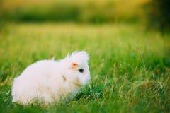 Усаживание зайчика кролика породы Сокращать-ушастого карлика голубых глазов Снег-белое смешанное Стоковое фото RF