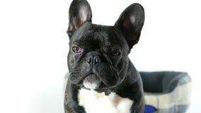Усаживание и смотреть собаки французского бульдога видеоматериал