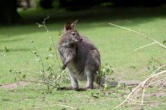 Усаживание кенгуру Стоковая Фотография RF