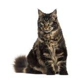 Усаживание кота енота Мейна изолированное на белизне Стоковое Фото