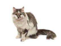 усаживание кота Стоковые Изображения RF