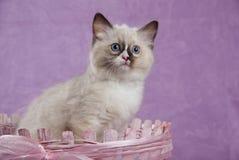 усаживание котенка корзины розовое стоковые изображения