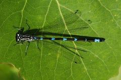 усаживание листьев dragonfly стоковые изображения rf