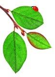 усаживание листьев ladybird Стоковые Изображения RF