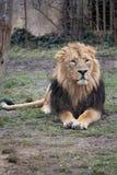 усаживание льва Стоковое Изображение RF