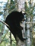 усаживание медведя Стоковая Фотография RF