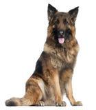 усаживание немецкого чабана собаки Стоковая Фотография