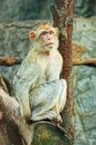 усаживание обезьяны унылое стоковая фотография rf