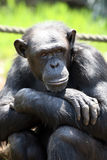 усаживание обезьяны Стоковое фото RF