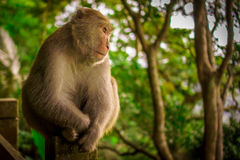 Усаживание обезьяны Стоковые Изображения