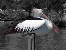 Усаживание пеликана Стоковая Фотография RF