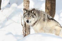 Усаживание серого волка Стоковые Изображения RF