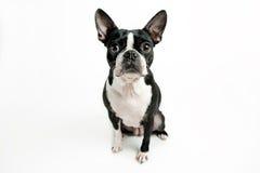 Усаживание собаки терьера Бостона Стоковая Фотография RF