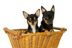 Усаживание собаки чихуахуа взрослого 2 Стоковые Фотографии RF
