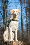 Усаживание собаки Стоковые Фотографии RF