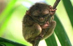 Усаживание спать более tarsier на дереве Стоковое Изображение
