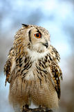 Усаживание сыча орла стоковая фотография