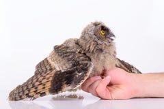 Усаживание сыча птицы Стоковое фото RF