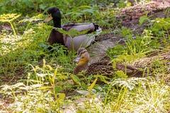 Усаживание утенка одичалое, мужское и женское в зеленой траве Стоковое Изображение RF