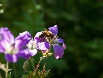 усаживание цветка пчелы Стоковая Фотография RF