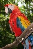усаживание шарлаха macaw ветви стоковое фото