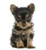 Усаживание щенка йоркширского терьера Стоковая Фотография RF