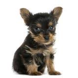 Усаживание щенка йоркширского терьера Стоковое Изображение RF